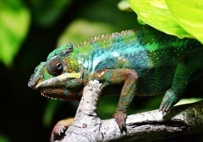 chameleon-318649_960_720